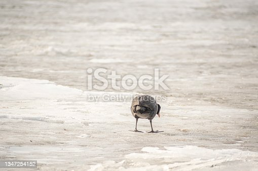 istock Funny picture of Eurasian coot on ice 1347254152