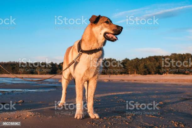 Funny pictures of puppy golden retriever at sunset on the sea picture id980288962?b=1&k=6&m=980288962&s=612x612&h=eqyz6y7spko1 izvxjwfbx 7 vrhfnupwuucev5cumk=
