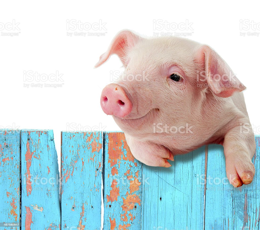 Funny pig hanging on a fence. Humorous collage. stock photo