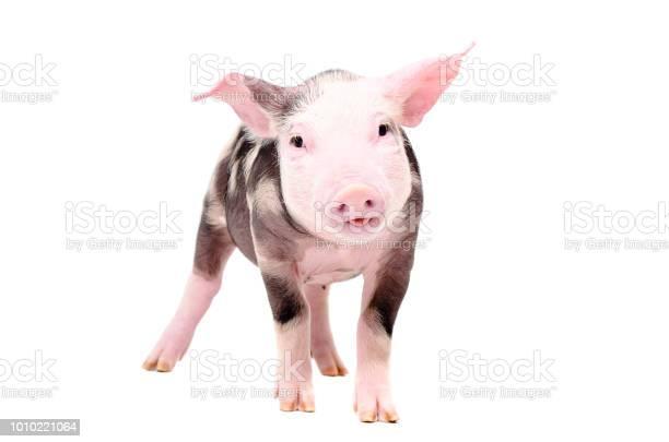 Funny piglet picture id1010221064?b=1&k=6&m=1010221064&s=612x612&h=ybxuzfjfqk8uy98lywrb5hpda9 zui9voatjclm mmg=