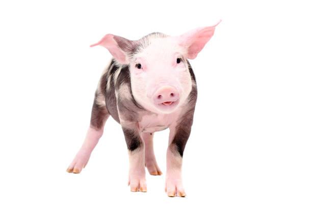 funny piglet - cinghiale animale foto e immagini stock