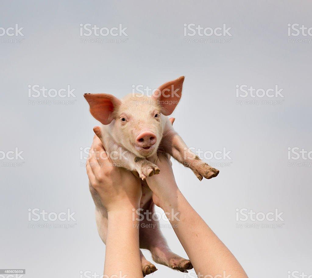 Funny piglet stock photo
