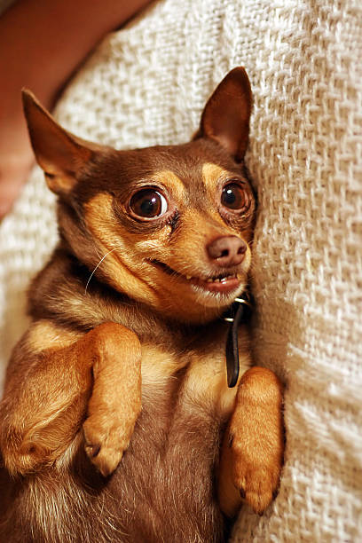 Funny pinscher caricature stock photo