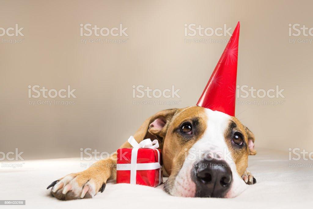 Lustige Pitbull Welpen In Geburtstag Hut Mit Kleinen Uberraschung An