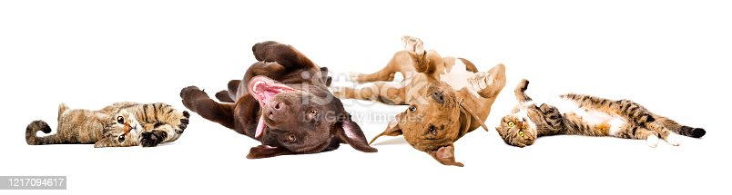 Funny playful dogs and cats lying on their back together isolated on a white background