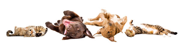 Funny playful dogs and cats lying on their back together isolated on picture id1217094617?b=1&k=6&m=1217094617&s=612x612&w=0&h=kle7gyyodk5qieyzegjvbta2yj2ijk p3uyazymmilk=