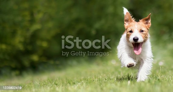 1053642922 istock photo Funny playful happy pet dog puppy running in the grass and smiling 1225802419