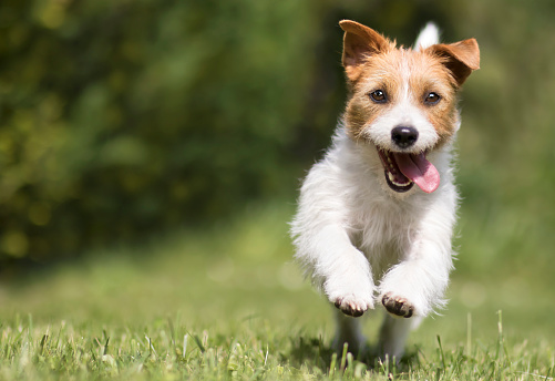 Funny playful happy crazy jack russell terrier smiling cute pet dog puppy running and jumping in the grass in summer