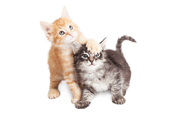 Funny Playful Tabby Kittens on White stock photo