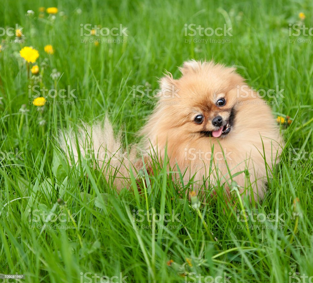 funny pomeranian sitting in green grass stock photo