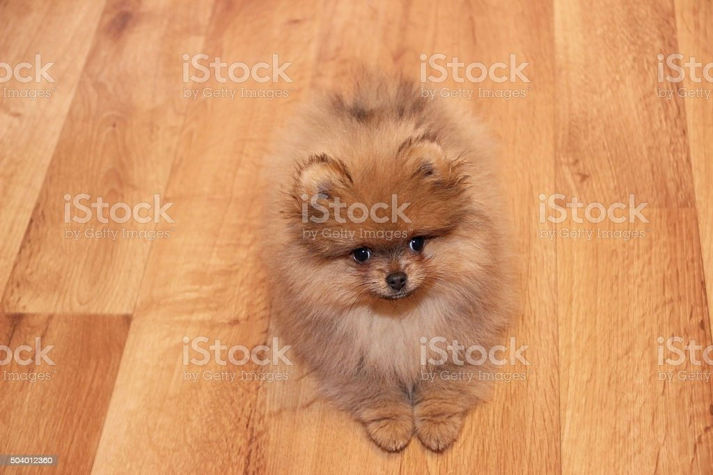 Simple Spitz Canine Adorable Dog - funny-pomeranian-spitz-puppy-pomeranian-dog-little-puppy-picture-id504012360  Photograph_136140  .com/photos/funny-pomeranian-spitz-puppy-pomeranian-dog-little-puppy-picture-id504012360