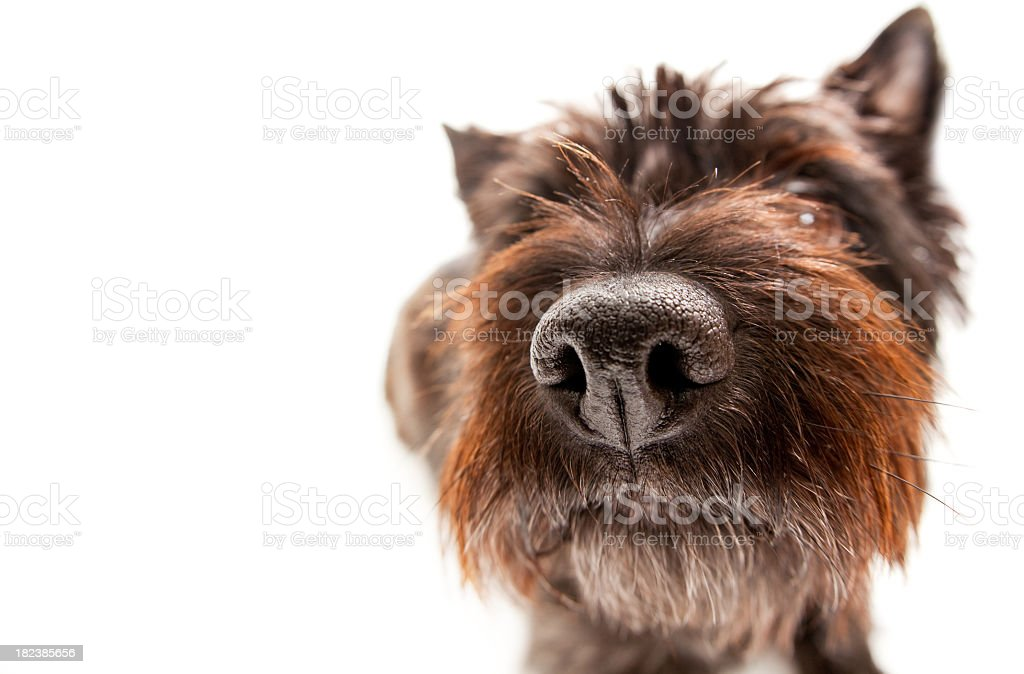 Funny Portait of a Cairn Terrier stock photo