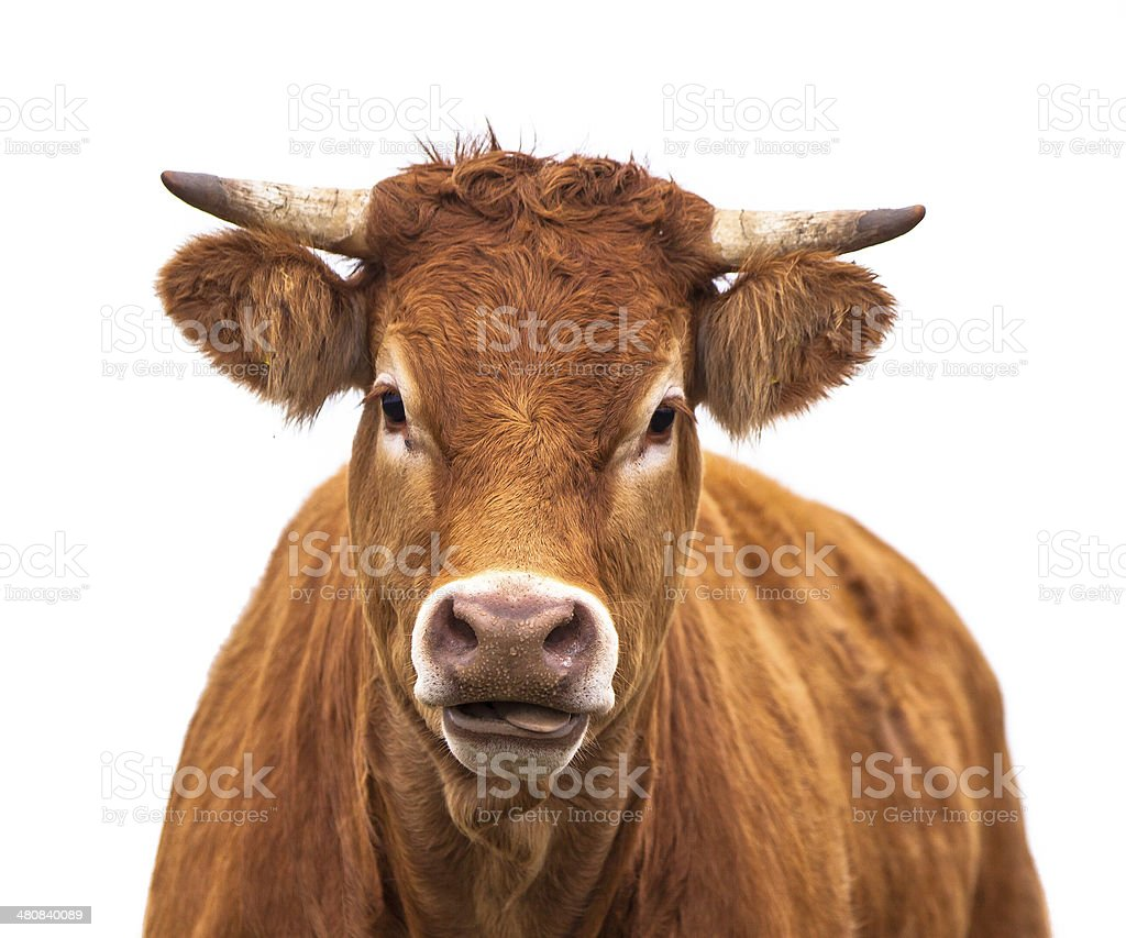 Funny Portrait of a Cow stock photo