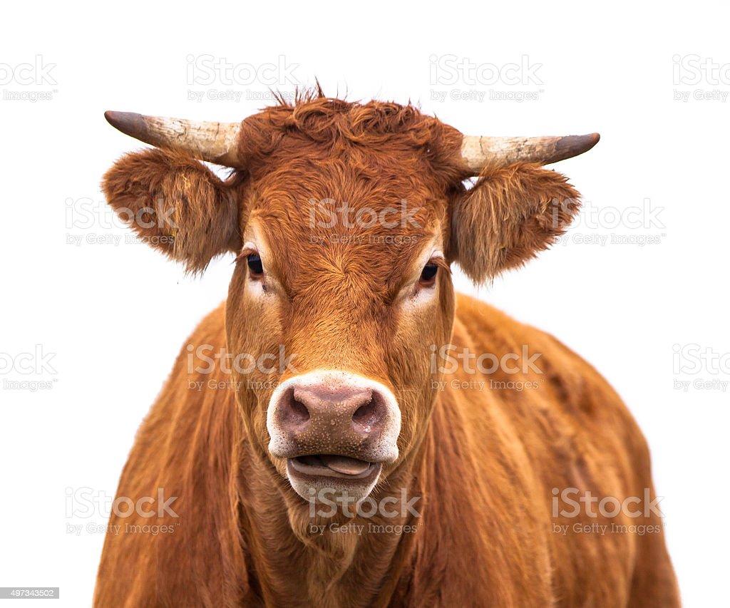 Engraçado Retrato de uma vaca - foto de acervo