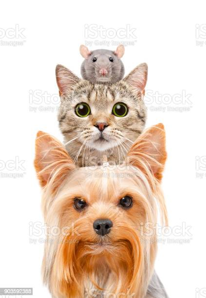 Funny portrait of a dog a cat and a rat picture id903592388?b=1&k=6&m=903592388&s=612x612&h=bkbmrfozdqj7yt6afe yowkwnfrkrlf oxwjrqvkh74=