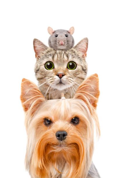 Portrait drôle d'un chien, un chat et un rat - Photo