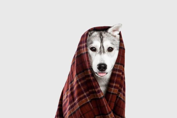 funny portrait of a dog siberian husky wearing a scarf - strickmantel stock-fotos und bilder