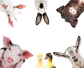 Funny portrait of a group of farm animals. Isolated on white background