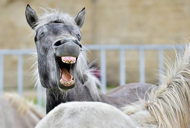 lustige porträt eines lachen horse. camargue horse gähnen, - lustige pferde stock-fotos und bilder