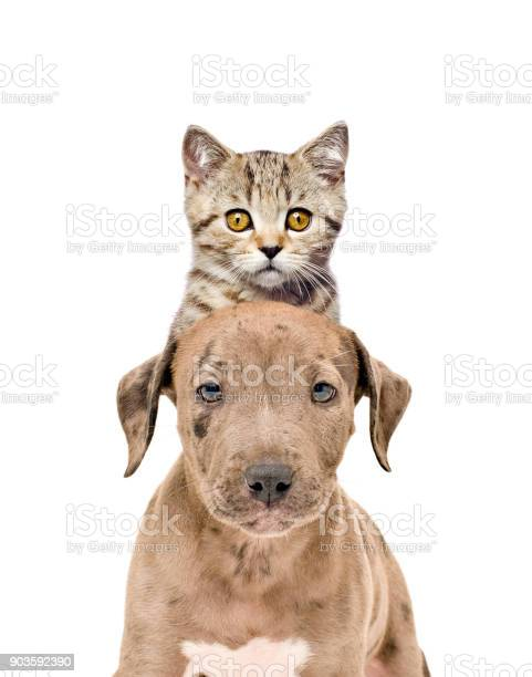 Funny portrait of a pit bull puppy and kitten scottish straight picture id903592390?b=1&k=6&m=903592390&s=612x612&h=puwoppen5k vwpkycuusr5ze riv8n8ac8cxtxt8abw=