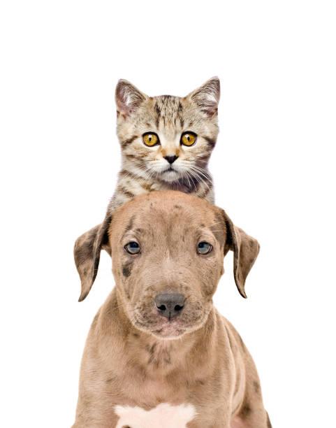 lustige porträt eines pitbull welpen und kätzchen scottish straight - pitbull welpen stock-fotos und bilder