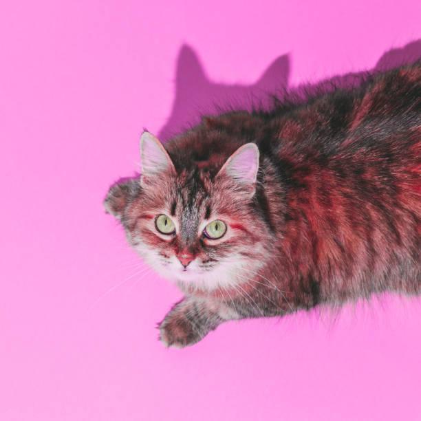 divertido retrato de gato hermoso con el pelo rojo. cabeza sobre los talones en el fondo rosado. - cat vaporwave fotografías e imágenes de stock