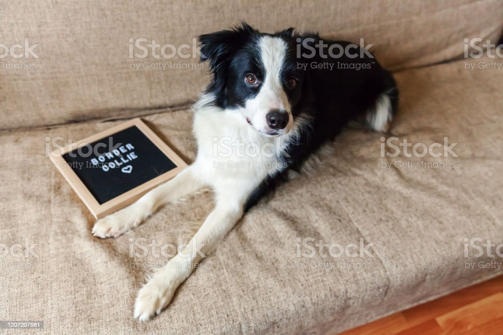 Funny Portrait Of Cute Puppy Dog On Couch With Letter Board Inscription Border Collie Word New Lovely Member Of Family Little Dog At Home Gazing And Waiting For Reward Pet Care And