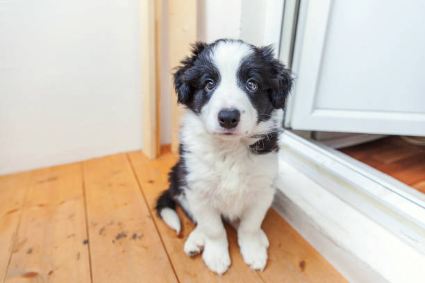 Funny portrait of cute smilling puppy dog border collie at home picture id1136683206?b=1&k=6&m=1136683206&s=612x612&w=0&h=7gf50sylbmppjsrqapswprf06u3jolncp6jyb0bzjfe=