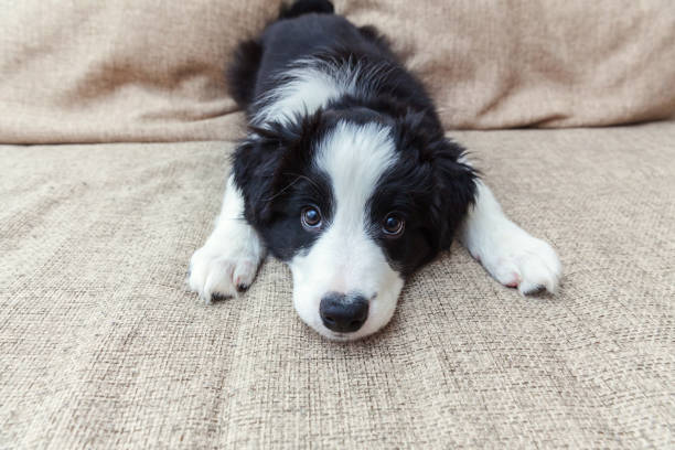 Funny portrait of cute smilling puppy dog border collie at home Funny portrait of cute smilling puppy dog border collie on couch. New lovely member of family little dog at home gazing and waiting. Pet care and animals concept cute stock pictures, royalty-free photos & images