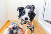 Funny portrait of cute smilling puppy dog border collie holding colourful rope toy in mouth. New lovely member of family little dog at home playing with owner. Pet care and animals concept