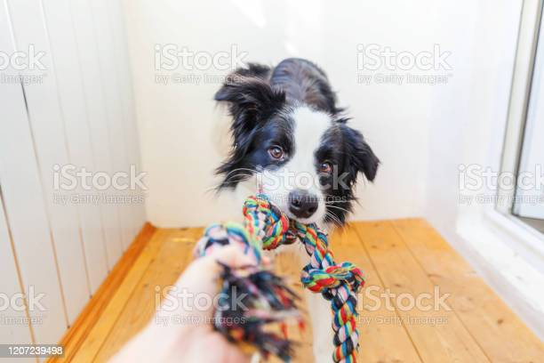 Funny portrait of cute smilling puppy dog border collie holding rope picture id1207239498?b=1&k=6&m=1207239498&s=612x612&h=1yxfvokbsfthqrohbluqcx1srbmqx xndijsienbtce=