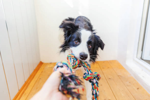 Funny portrait of cute smilling puppy dog border collie holding rope picture id1207239498?b=1&k=6&m=1207239498&s=612x612&w=0&h=gia7kfvczorn1c4czibrvpv21tpoq3nzdppchgvdgco=