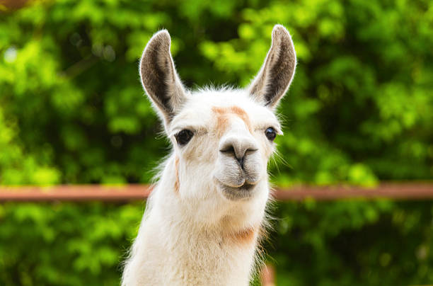 Funny portrait of llama stock photo