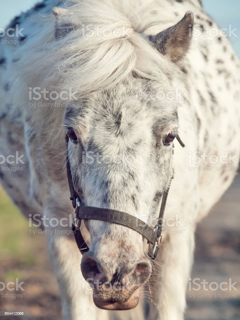 funny portrait of running appaloosa pony . front view stock photo