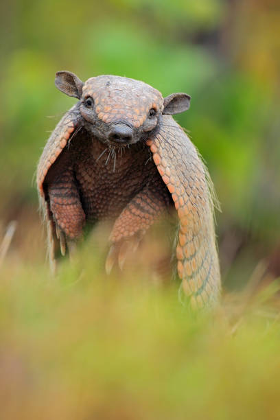 Funny portrait of Southern Naked-tailed Armadillo, Cabassous unicinctus, Pantanal, Brazil stock photo