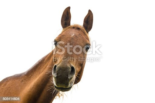 funny portrait of a warmblood horse isolated on white