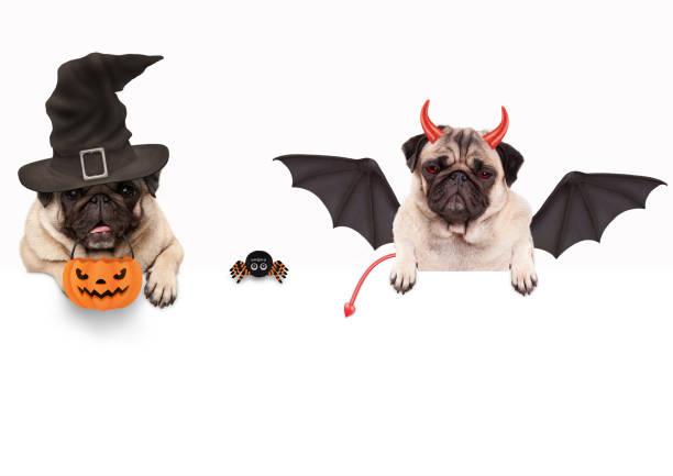 lustige mops hund verkleidet für halloween mit spinne und kürbis korb, isolierte objekte - hund spinnenkostüm stock-fotos und bilder