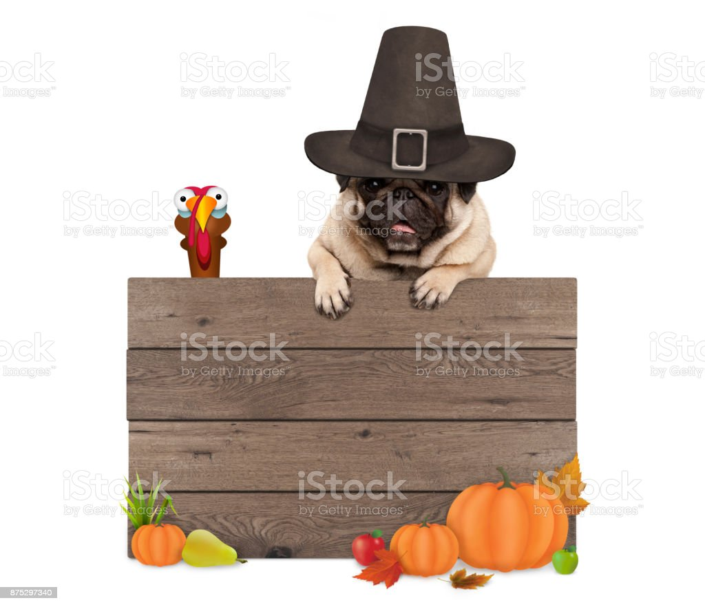 funny pug dog wearing pilgrim hat for Thanksgiving day, with blank wooden sign and turkey stock photo