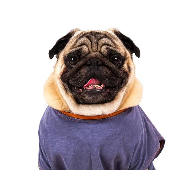 Funny pug portrait picture id451253771?b=1&k=6&m=451253771&s=612x612&w=0&h=r 7sosurzghzvgchm0uwyc7ix7botglqqoy262czufg=
