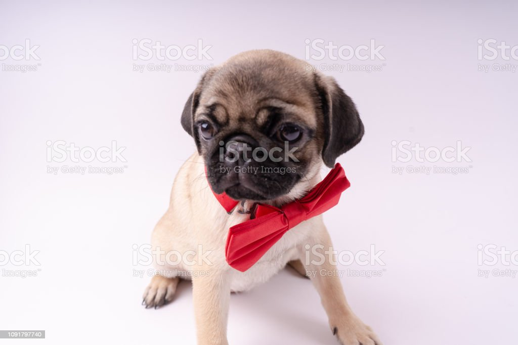 Funny Pug Puppy On White Background Stock Photo Download Image Now Istock