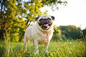 Smiling pug walking in summer park