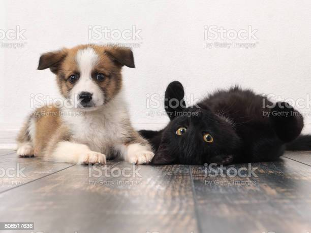 Funny puppy and cat on the floor picture id808517636?b=1&k=6&m=808517636&s=612x612&h=nivei4b2r6xd umgjmuscogitdsv na svtgrwobohc=