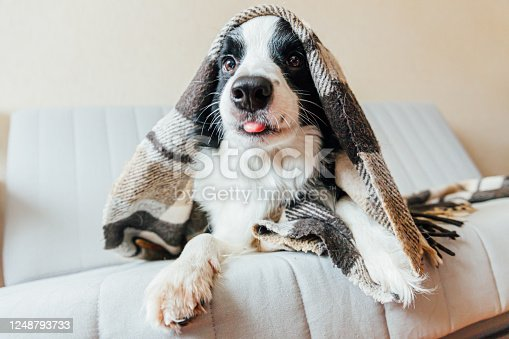 Funny puppy dog border collie lying on couch under plaid indoors. Lovely member of family little dog at home warming under blanket in cold fall autumn winter weather. Pet animal life concept