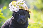 Funny puppy dressed in a straw hat with flowers. Puppy walking on the grass in spring on a sunny day