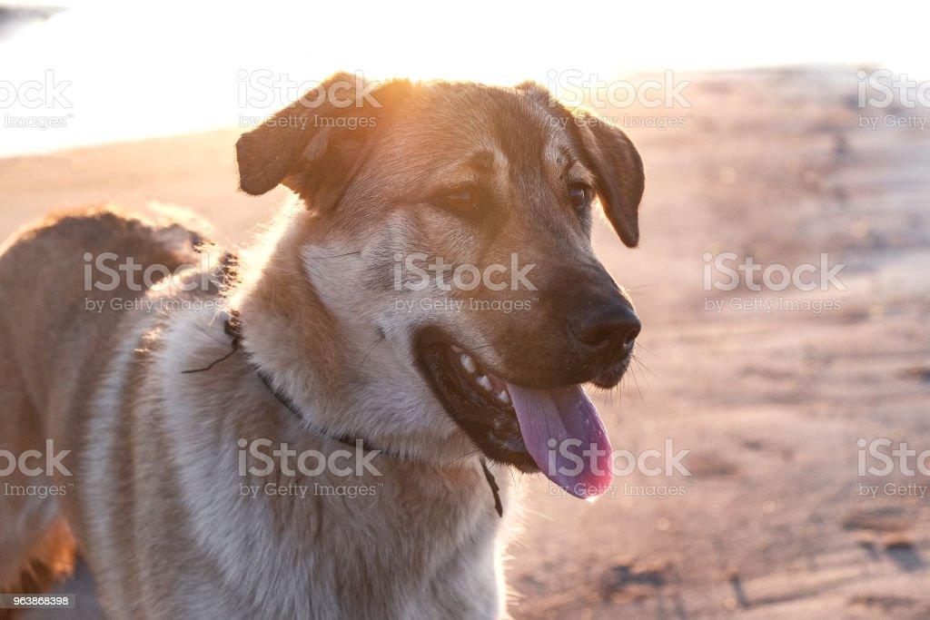 funny puppy Golden Retriever - Royalty-free Animal Stock Photo