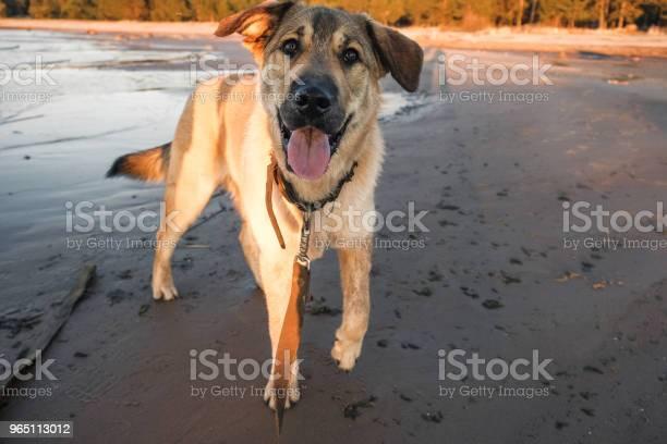 Funny puppy golden retriever picture id965113012?b=1&k=6&m=965113012&s=612x612&h=6 nfsz7m4dpqabxgo9hms8l3ryavt9ksdvlxbkuaqek=