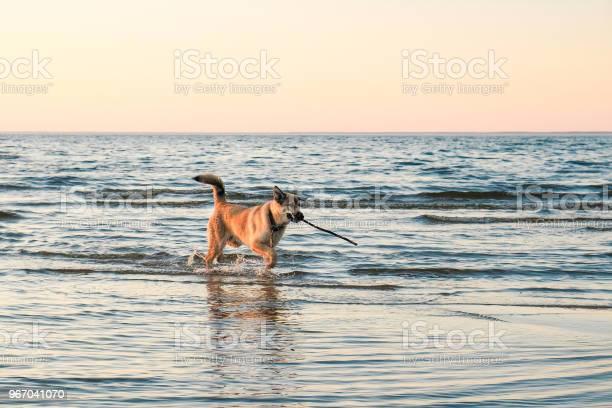 Funny puppy golden retriever picture id967041070?b=1&k=6&m=967041070&s=612x612&h=17tlimqy6qdaijm3 6fcocfwmsjiibexgkkqkay1pi8=