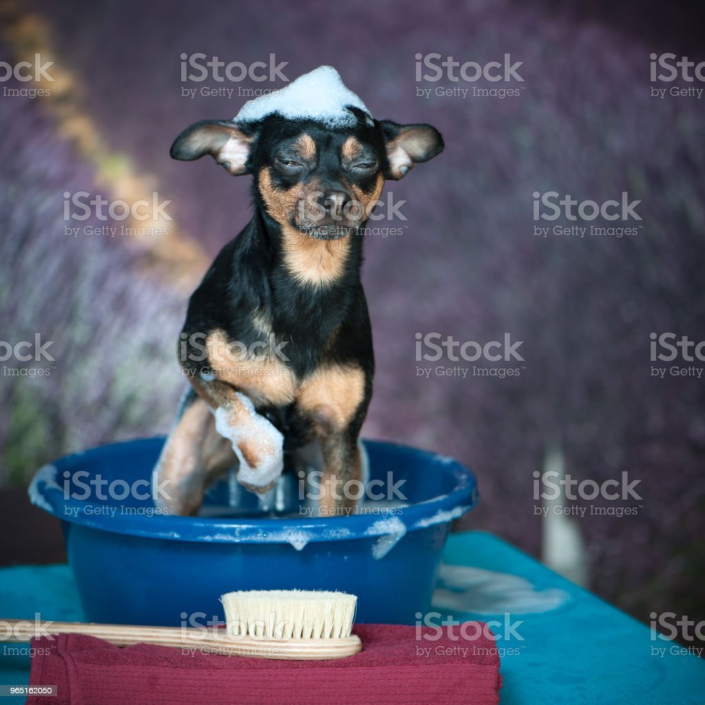 funny puppy is washed in a basin with foam, on a beautiful background of a lavender field. In the foreground, wash accessories zbiór zdjęć royalty-free