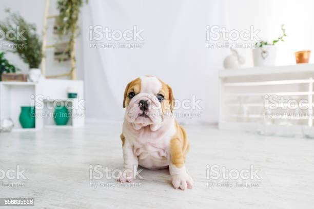 Funny puppy of english bull dog on the floor looking to camera picture id856635528?b=1&k=6&m=856635528&s=612x612&h=uq7lfertb8k iaguh pvmv6buibj4jcbxt74lul f1k=