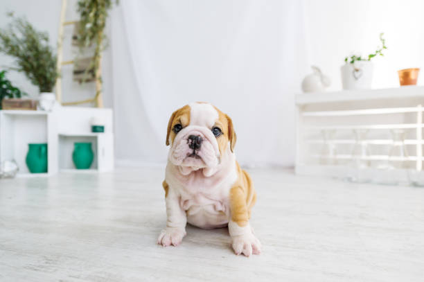 Funny puppy of english bull dog  on the floor looking to camera. Funny puppy of english bull dog  on the floor looking to camera. Cute doggy with black nose colorful body sitting on wooden floor. bulldog stock pictures, royalty-free photos & images